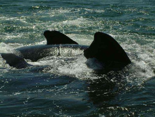 Walker Bay whales image 3