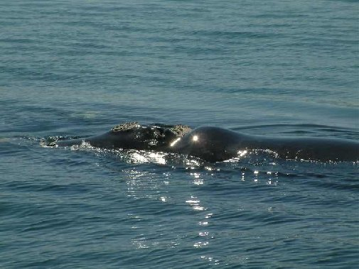 Walker Bay whales image 8