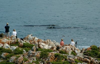 Whale watching from the cliffs of De Kelders on the coast of Walker Bay